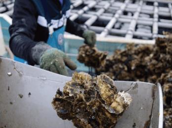 牡蠣が大きく成長するため帆立貝は全く見えなくなって います