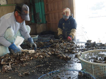 固まりの牡蠣を丁寧にバラして泥や付着したムラサキガ などを取り除きます。その後洗浄し、大きさ別に仕分け します。