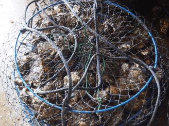 綺麗なった牡蠣をネットに入れます