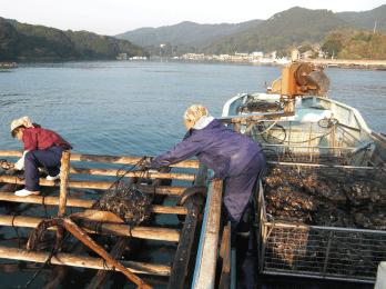中の身が大きくなるまで再び海の中へ この一手間で身入りが良くなり美味しい牡蠣に成長し ます