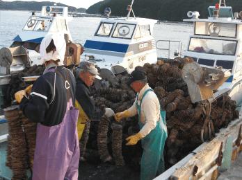 帆立貝に引っ付いた牡蠣の赤ちゃんが到着。 養殖業者や家族総出で運びます。