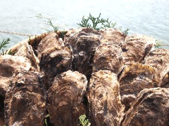 惜しみない愛情と手間隙を懸けることで、プリンとして いて且つ、爽やかな浦村牡蠣として出荷されます。