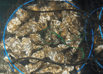 牡蠣の殺菌